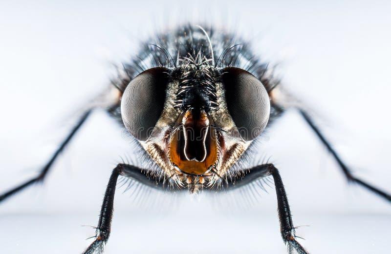 Macro de la mosca de la moscarda imagen de archivo libre de regalías