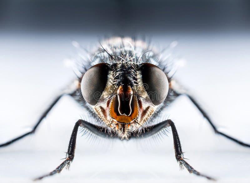 Macro de la mosca de la moscarda foto de archivo libre de regalías