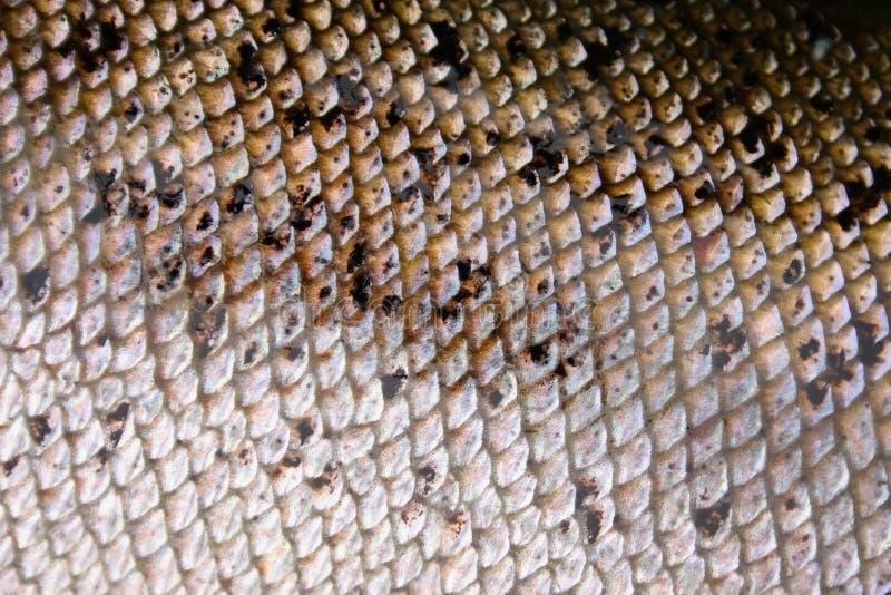 Macro de la piel de los pescados fotos de archivo