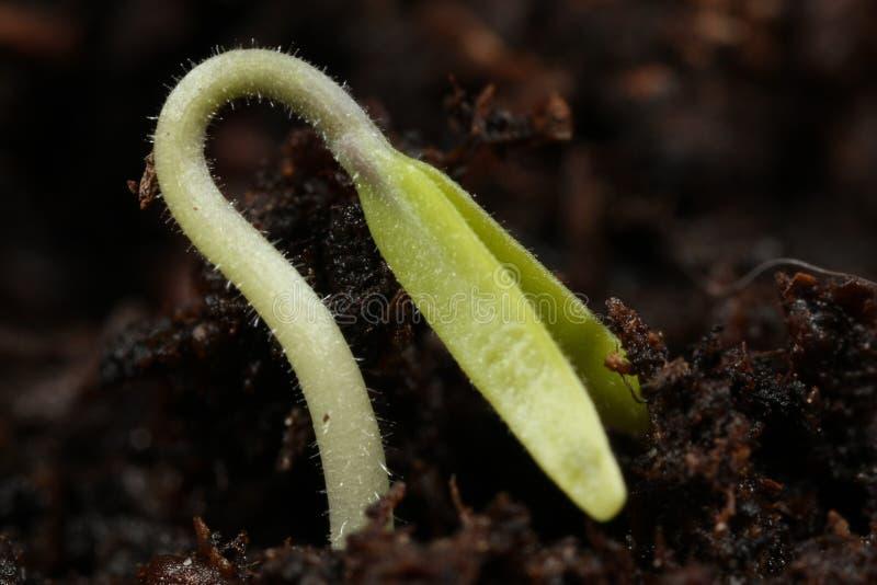 Macro de la planta de semillero imagenes de archivo