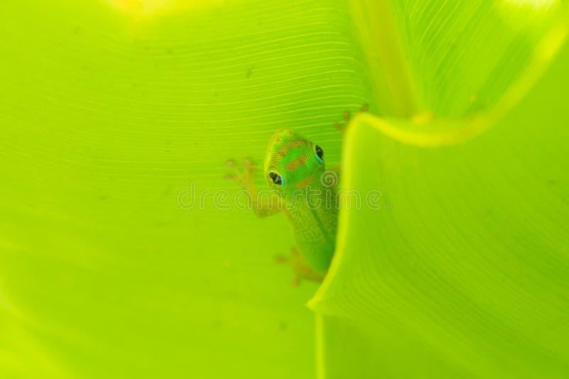 Macro de la salamandra del día del polvo de oro imagen de archivo