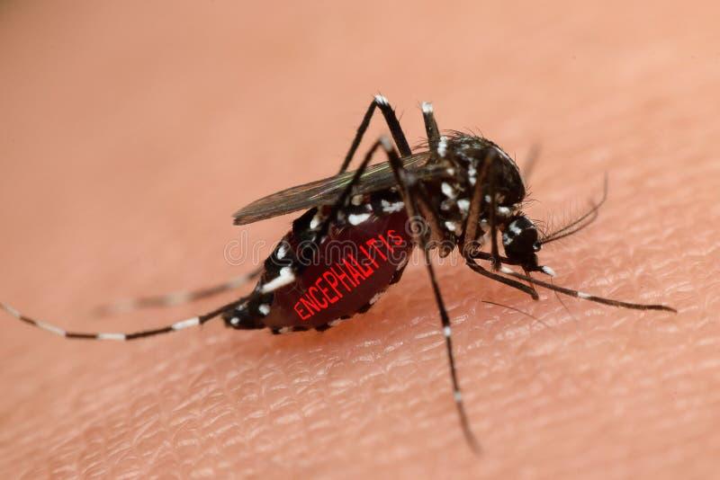 Macro de la sangre que chupa del mosquito fotografía de archivo libre de regalías