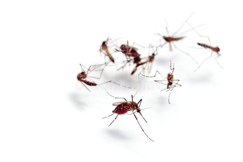 Macro de la sangre que chupa del mosquito aislada en el fondo blanco, MOS imagen de archivo libre de regalías