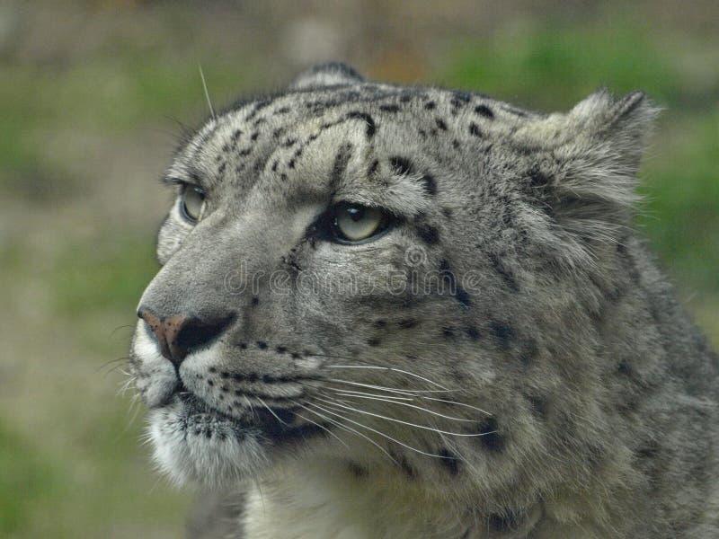Macro de la tête d'un léopard de neige images stock