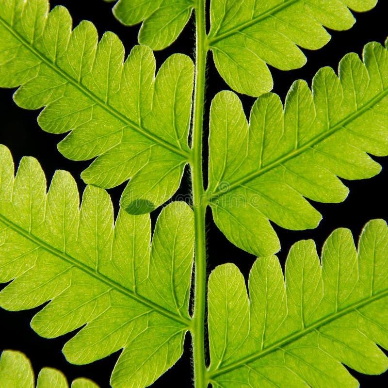 Macro de la textura verde de las hojas y de la fibra de la hoja del helecho imagen de archivo libre de regalías