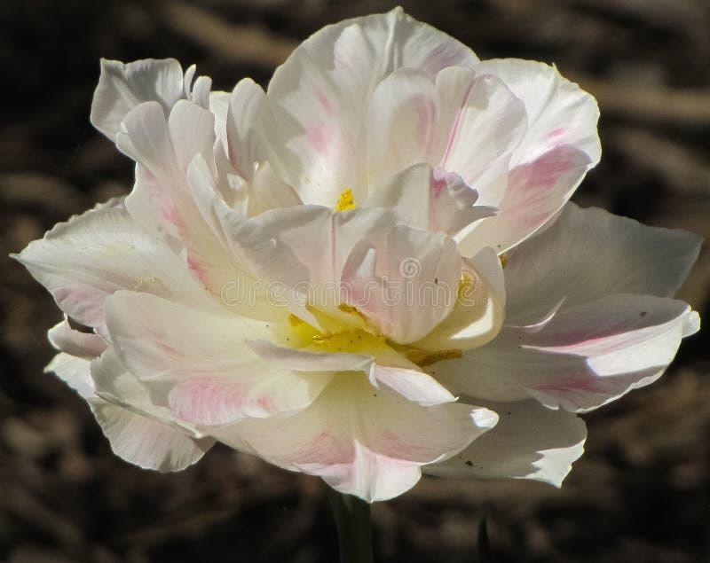 Macro de la tulipe blanche avec le rose, accents jaunes photos libres de droits