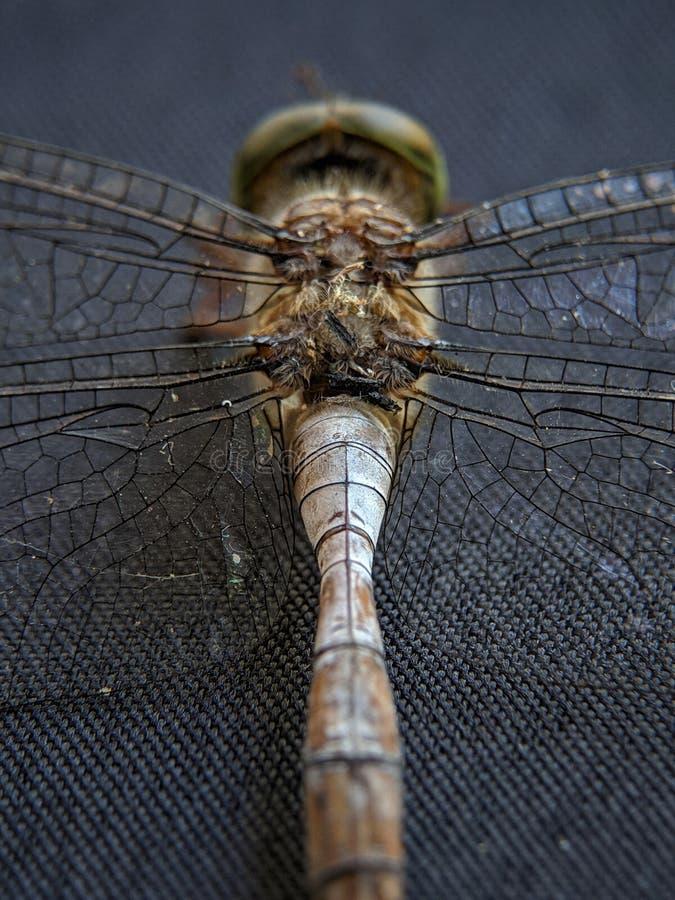 Macro de las alas de la libélula en textura negra del contexto imagen de archivo