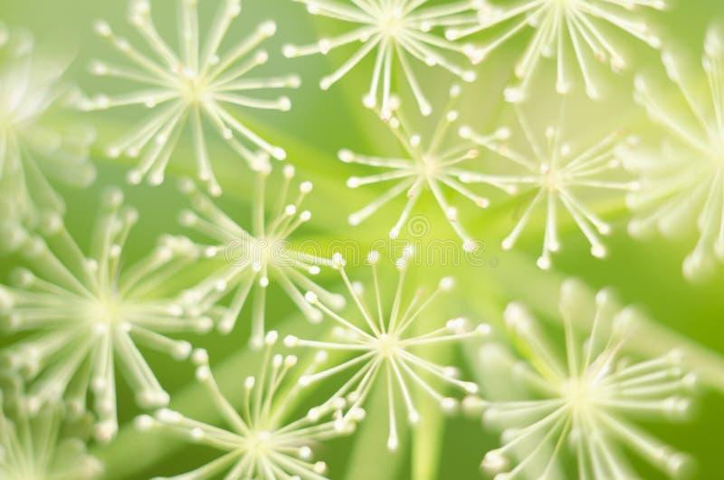 Macro de las flores del eneldo Ciérrese encima de la flor del hinojo verde Fondo natural Fondo verde fotos de archivo