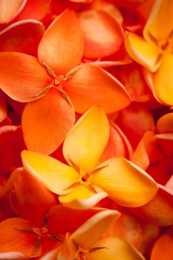 Macro de las flores vibrantes hermosas de Ixora foto de archivo libre de regalías