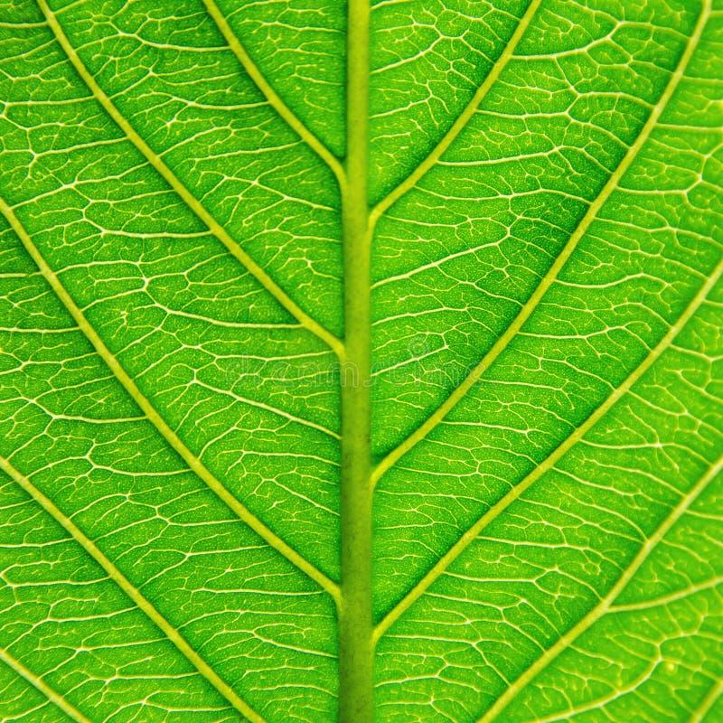Macro de las hojas verdes textura y estructura de la fibra de la hoja, Backg fotos de archivo
