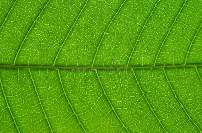 Macro de las hojas verdes textura y estructura de la fibra de la hoja, Backg foto de archivo libre de regalías