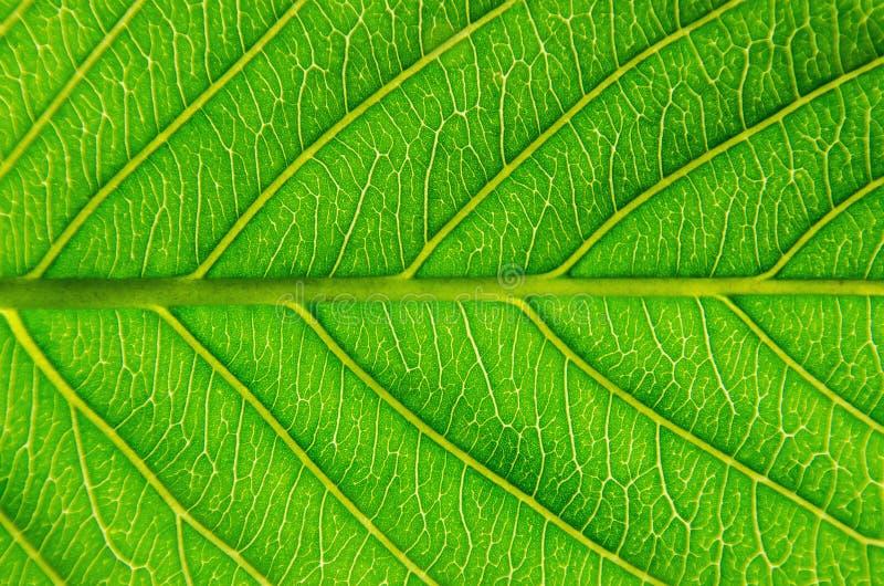 Macro de las hojas verdes textura y estructura de la fibra de la hoja, Backg imagen de archivo libre de regalías