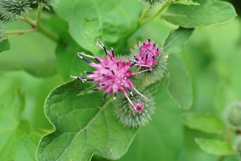 Macro de las inflorescencias y de la bardana púrpura caucásica Arct de la flor fotografía de archivo