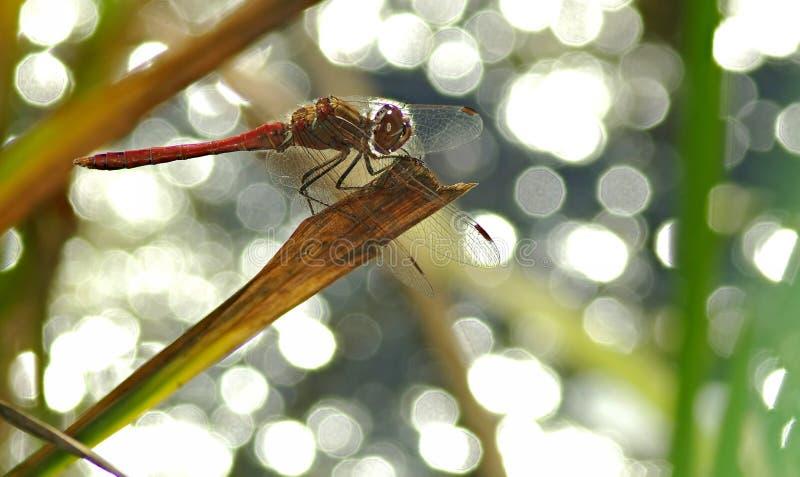 Macro de libellule photos stock