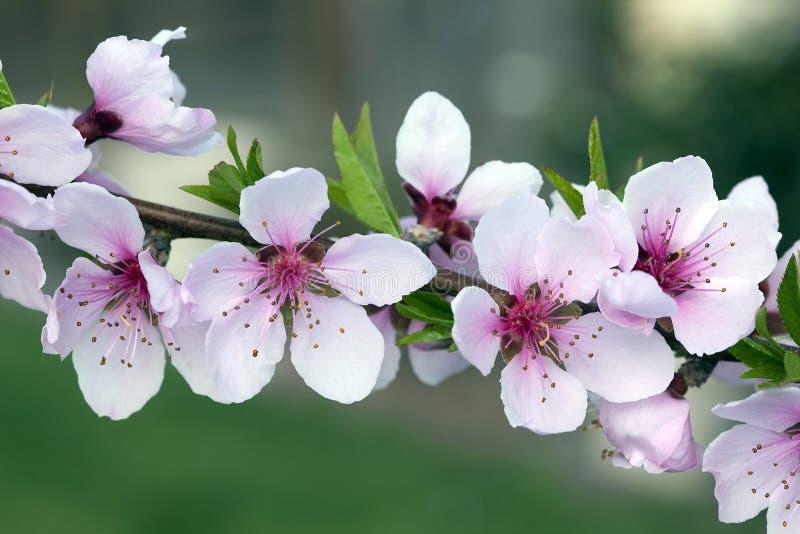 Macro de los flores del melocotón foto de archivo libre de regalías