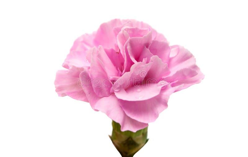 Macro de los pétalos rosados del clavel imagen de archivo