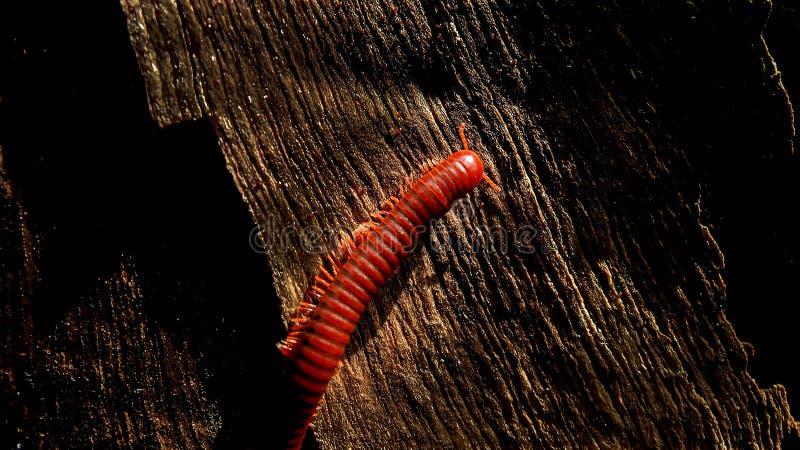 Macro de milpède orange et marron sur bois ancien photographie stock