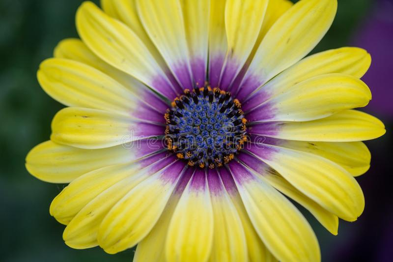 Macro de ojos azules de la flor del ` de la belleza del ` de Osteospermum imagenes de archivo