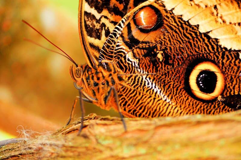 Macro de papillon, hibou (dessous) images stock