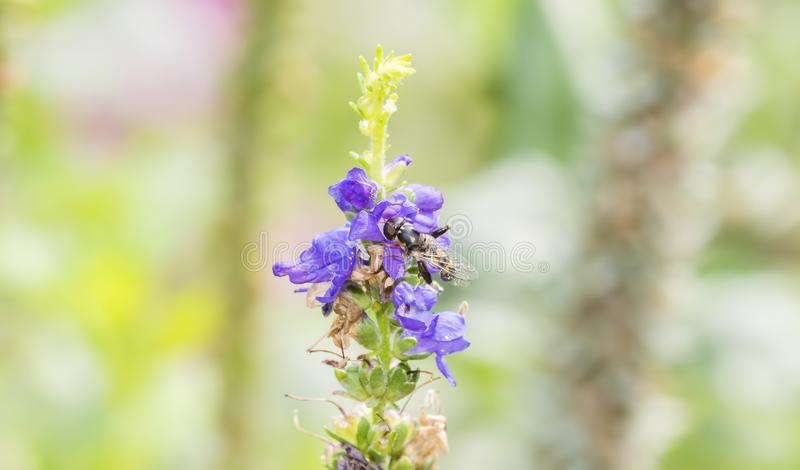 Macro de pollen de recherche de Hoverfly Syrphidae photo libre de droits