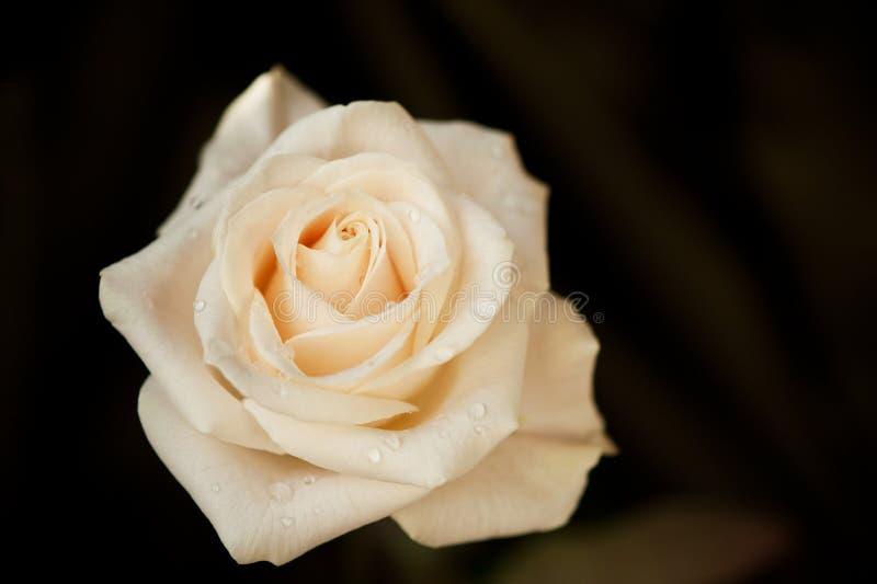 Macro de rose de blanc photo libre de droits