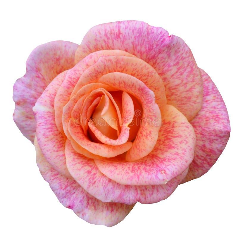Macro de rose de rose d'isolement sur le blanc photos libres de droits