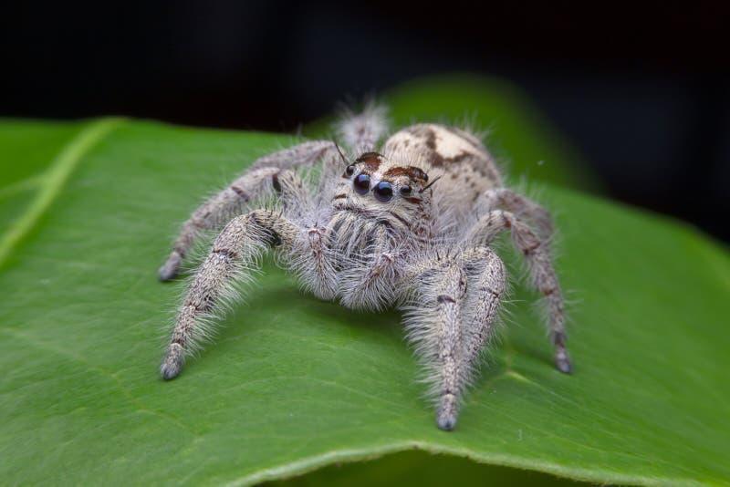 Macro de salto da aranha do scenicus de Salticus, inseto pequeno no natu imagens de stock royalty free