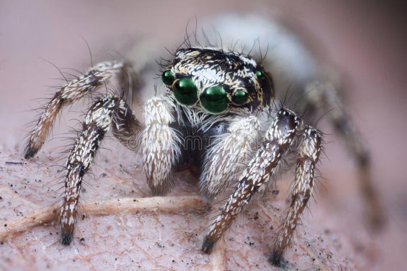 Macro de salto de la araña imágenes de archivo libres de regalías