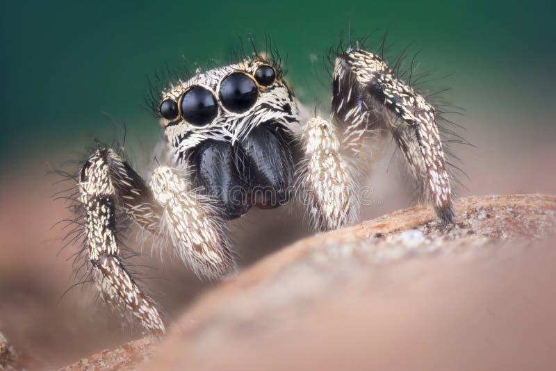 Macro de salto de la araña fotografía de archivo