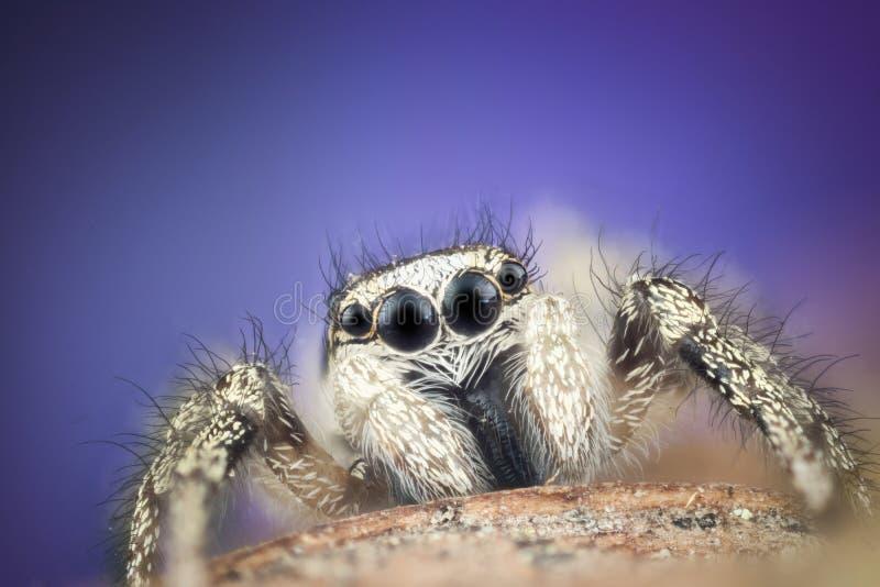 Macro de salto de la araña imagenes de archivo