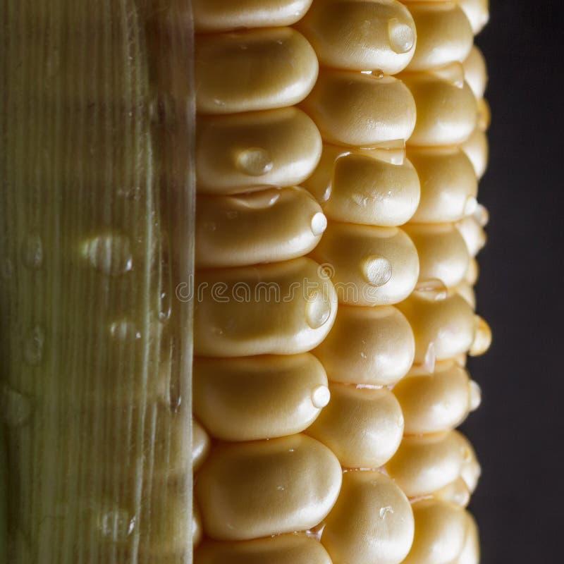 macro de trompa de maíz aislada en fondo negro Concepto de agricultura foto de archivo libre de regalías