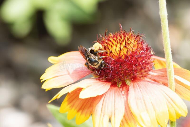 Macro de uma abelha tropeçar em um Gaillardia colorido chama o Arizona da flor do Arizona Sun fotografia de stock royalty free