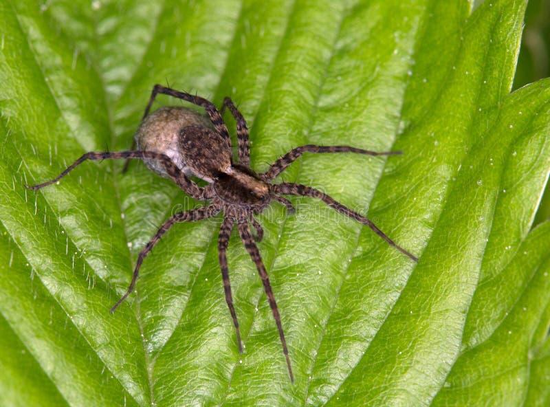 Macro de uma aranha: Amantata de Pardosa fotografia de stock royalty free