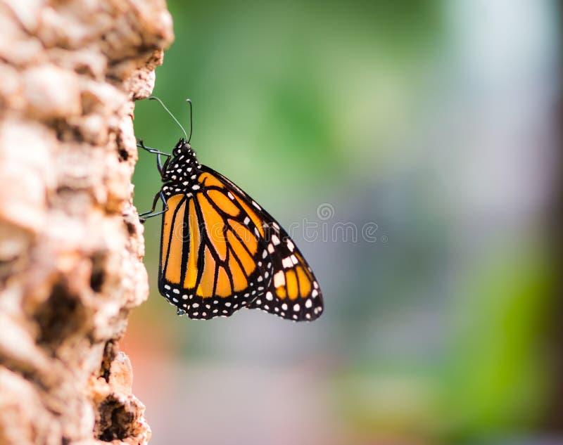 Macro de uma borboleta de monarca fotografia de stock royalty free