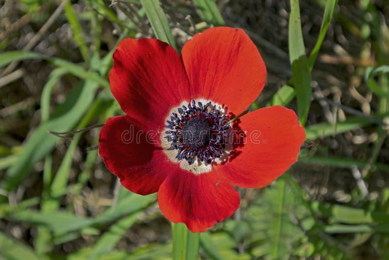 Macro de uma coroa vermelha Anemone Flower imagem de stock