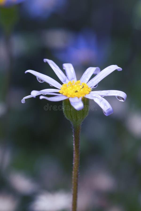 Macro de uma flor azul pequena com fundo verde fotografia de stock royalty free