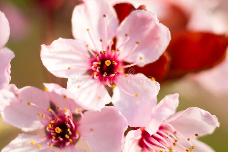 Macro de uma flor da amêndoa imagens de stock royalty free