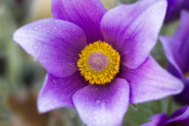 Macro de uma flor de pasque violeta fotografia de stock royalty free