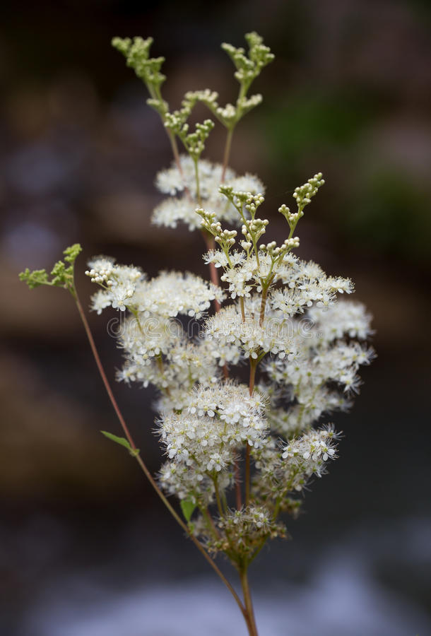Macro de uma flor selvagem: Ulmaria de Filipendula fotografia de stock royalty free