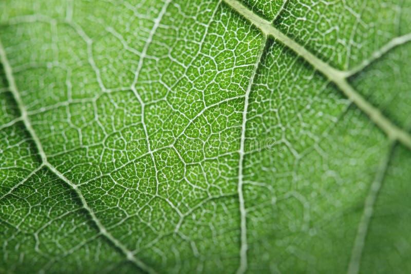 Macro de uma folha verde imagens de stock