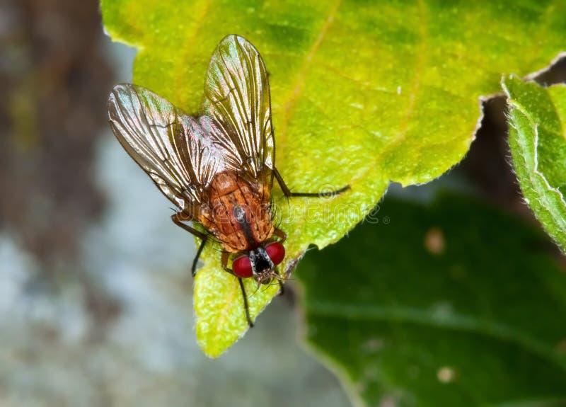 Macro de uma mosca marrom foto de stock