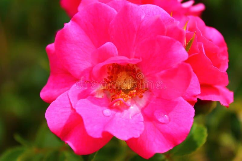 Macro de uma rosa cor-de-rosa forte fotografia de stock