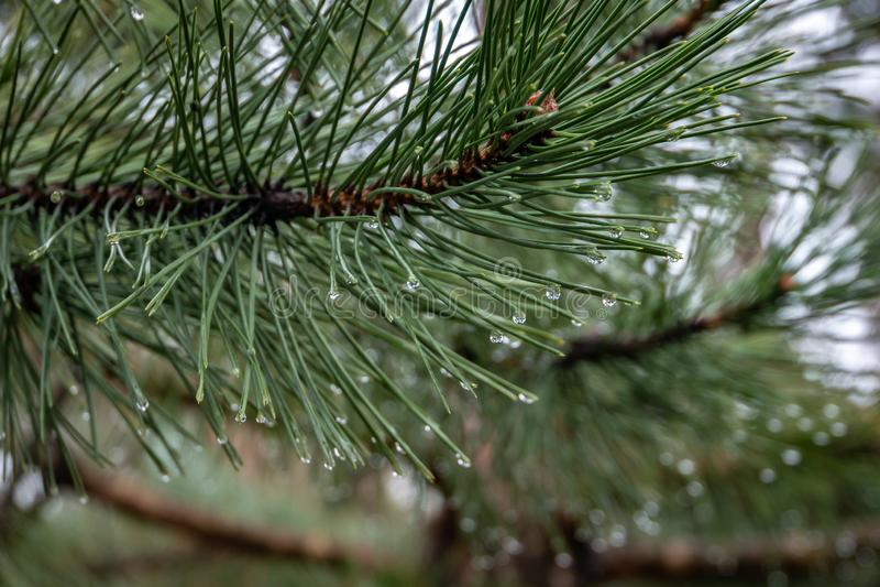 Macro de un árbol de pino austríaco de la aguja larga verde hermosa con descensos del agua en un fondo mágico del bokeh Textura o imagenes de archivo