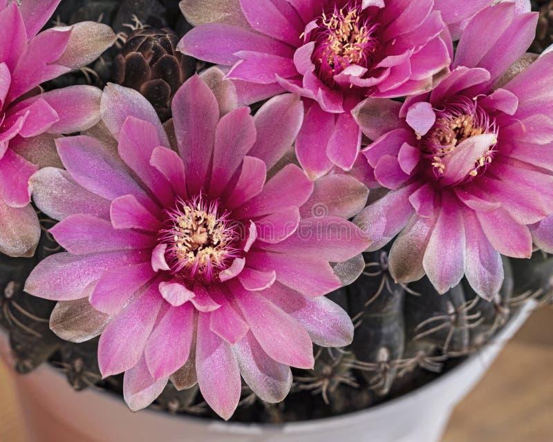 Macro de un enano magenta Chin Cactus Flower fotos de archivo