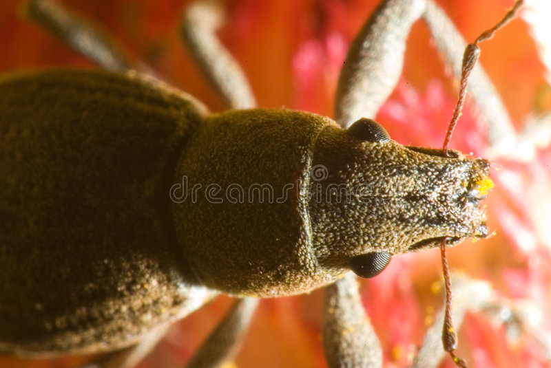 Macro de un escarabajo foto de archivo