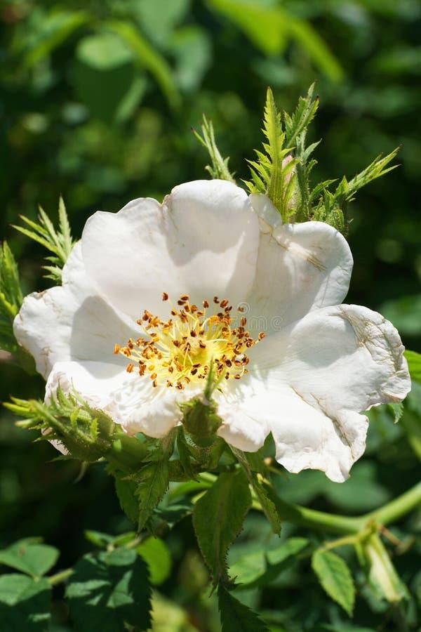 Macro de una flor blanca joven fresca de una cadera color de rosa caucásica salvaje fotos de archivo