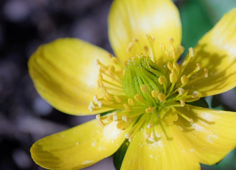 Macro de una flor del ranúnculo fotos de archivo