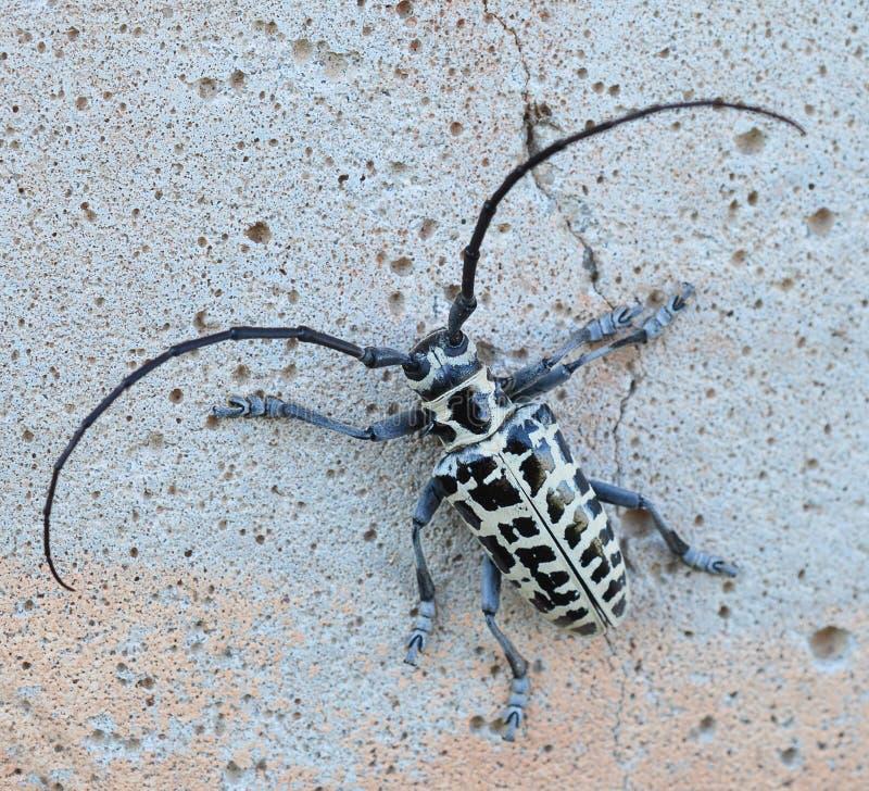 Macro de una opinión dorsal del escarabajo del perforador del cottonwood fotografía de archivo libre de regalías