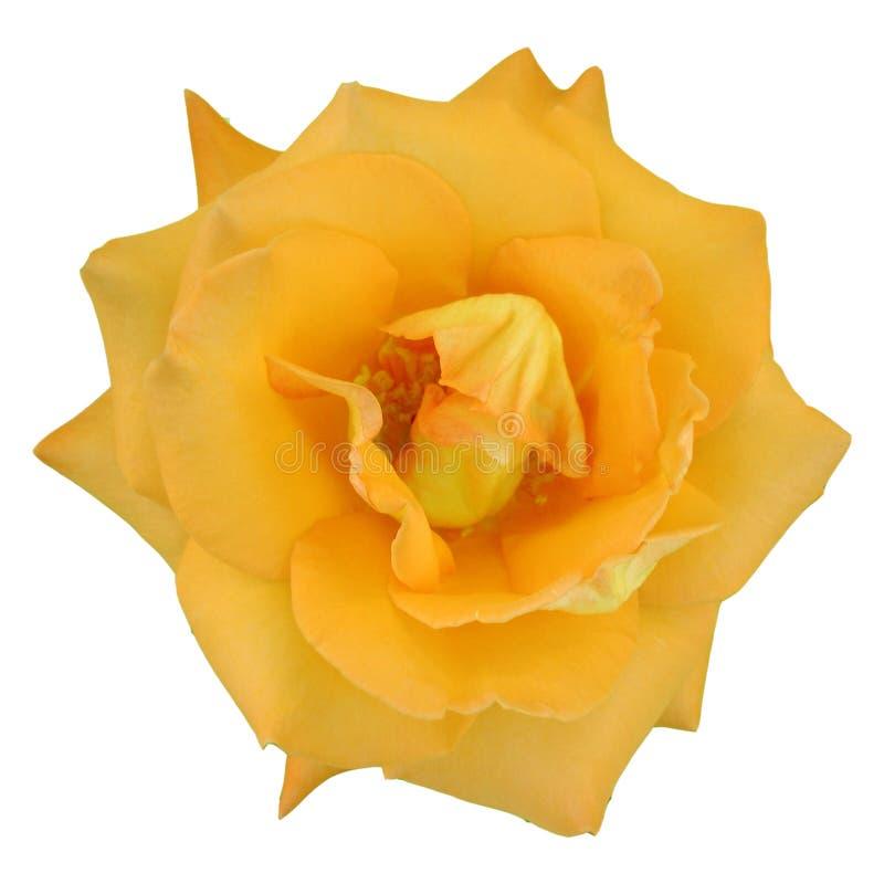 Download Macro de una rosa imagen de archivo. Imagen de pétalo, planta - 188903