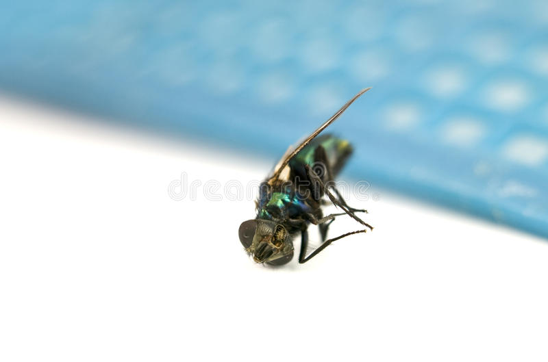 Download Macro of Dead Fly stock photo. Image of background, white - 10379470